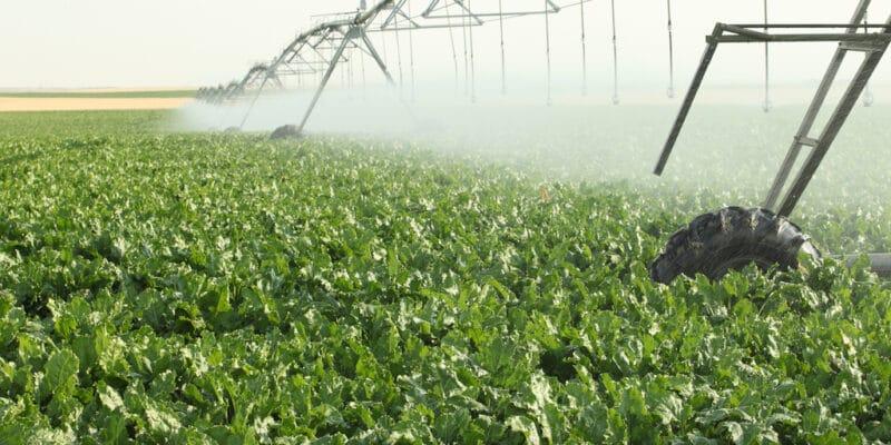 ÉGYPTE : Jenaan exploitera l'aquifère nubien pour irriguer une ferme de betteraves©B Brown/ Shutterstock