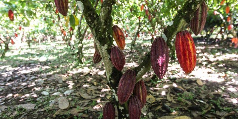 COTE D'IVOIRE : l'ABM de la BAD pour la résilience climatique des cacaoculteurs©haak78/Shutterstock