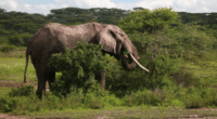 AFRICA: Forest elephant now critically endangered©TravisJFord/Shutterstock