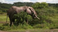 AFRIQUE : l'éléphant de forêt, désormais en danger critique d'extinction©TravisJFord/Shutterstock