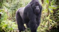 RWANDA: Kigali joins the Giants Club, a godsend for mountain gorillas©Jurgen Vogt/Shutterstock