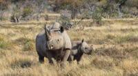 AFRIQUE DU SUD : un emprunt obligataire pour la préservation des rhinocéros noirs© Cathy Withers-Clarke/Shutterstock
