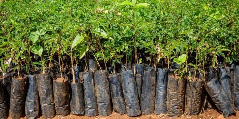 CAMEROUN : le Cifor promeut l'agroforesterie et plante 100000 arbres dans la Lékié©Dennis Wegewijs/Shutterstock