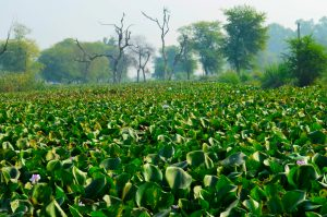 Water hyacinth in Lake Victoria, East Africa © Tea Talk/Shutterstock