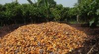 AFRIQUE DE L'OUEST : quel bilan pour le «Nestlé Cocoa Plan» sur déforestation ?©BOULENGER Xavier/Shutterstock
