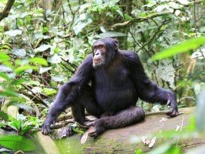 Un chimpanzé dans le parc national de Kibale en Ouganda © JordiStock /Shutterstock