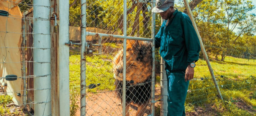SOUTH AFRICA: Government to ban captive breeding of lions ©schusterbauer.com/Shutterstock