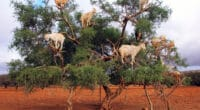 MOROCCO: The UN celebrates the argan tree for its contribution to biodiversity and climate©Nadiia Zamedianska/Shutterstock