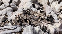 AFRIQUE DU SUD : les oiseaux cormorans, poussés à l'extinction par la surpêche©Andreas Wolochow/Shutterstock