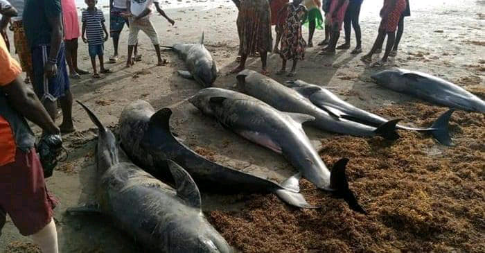 SENEGAL: Mystery hovers over the death of dolphins and turtles in the north of the country©SOS NaturE Sénégal/Shutterstock