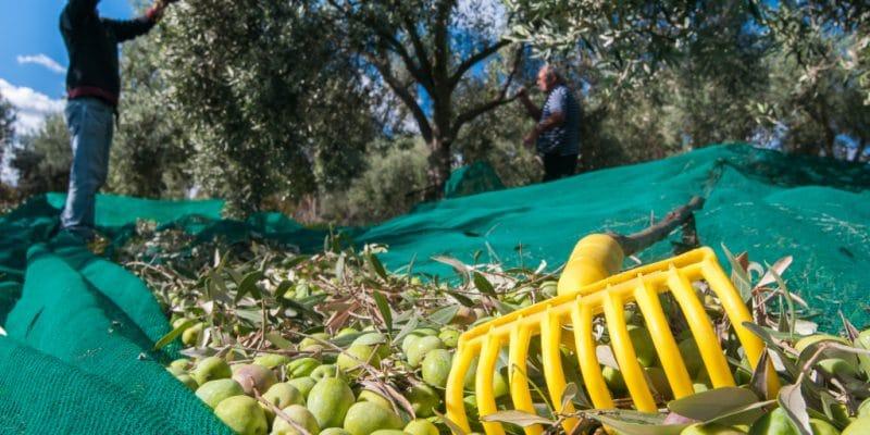 TUNISIE : la SFI soutient CHO pour une production écologique de l'huile d'olive© Marco Ossino/Shutterstock