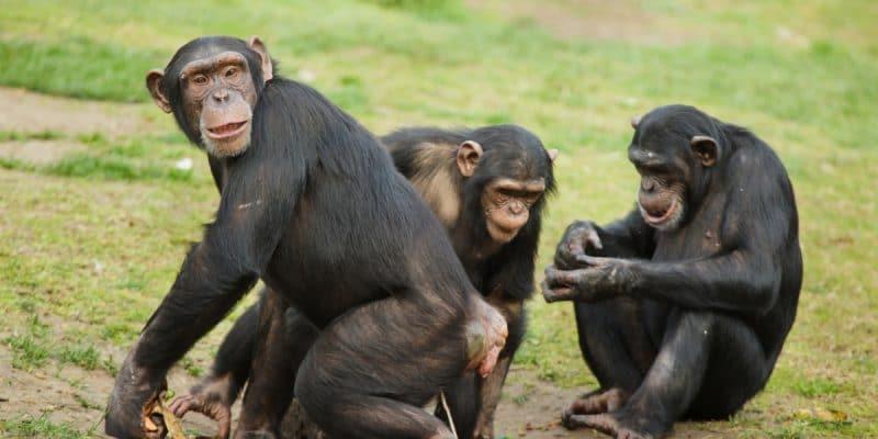 GUINEA: Biotope establishes sustainable cohabitation between chimpanzees and local communities©Vladimir Wrangel/Shutterstock