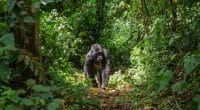 CONGO : Olam et WCS s'accordent pour la biodiversité autour du parc de Nouabalé-Ndoki©GUDKOV ANDREY/Shutterstock