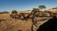 MOZAMBIQUE : 89 zèbres et gnous transférés de Kruger pour restaurer le parc de Zinave© Fondation Peace Parks