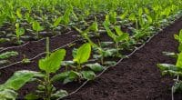 KENYA: New irrigation system serves 457 farmers' homes in Murang'a ©Alchemist from India/Shutterstock