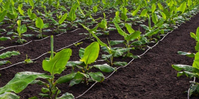 KENYA : un nouveau système d'irrigation dessert 457 foyers d'agriculteurs à Murang'a ©Alchemist from India/Shutterstock