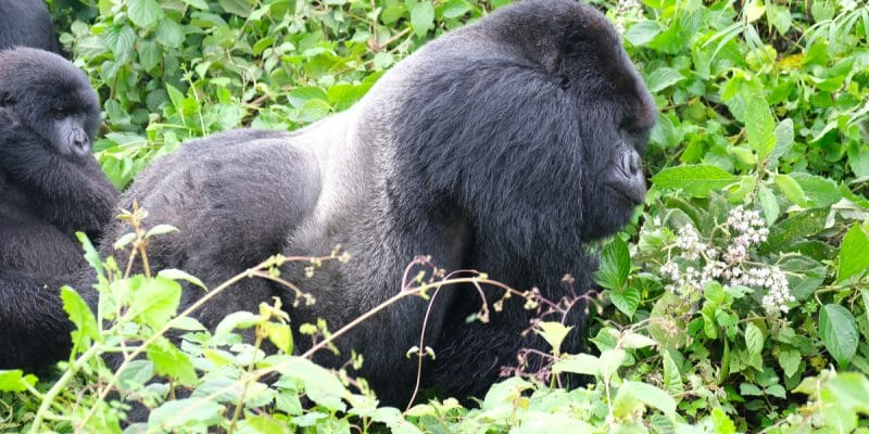 AFRICA: Funding NGOs to improve great ape protection©Shells13/Shutterstock