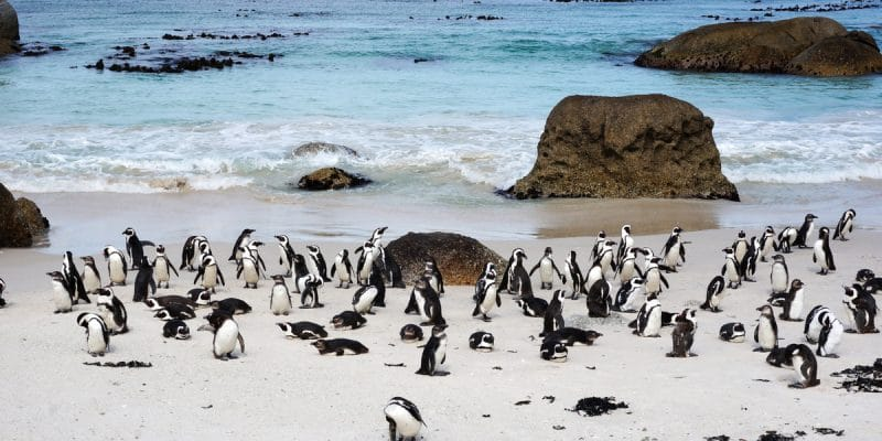 SOUTH AFRICA: 63 penguins stung to death by a swarm of bees©Tang Yan Song/Shutterstock