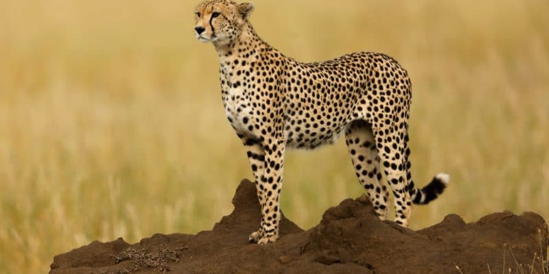 MOZAMBIQUE: 60 years later, cheetahs are back in the Maputo Reserve