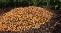 AFRIQUE : quels enjeux pour la nouvelle initiative française pour un cacao durable ?AFRIQUE : quels enjeux pour la nouvelle initiative française pour un cacao durable ?